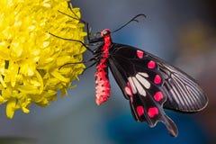 Farfalla rosa del terreno comunale Immagini Stock