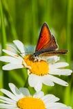 farfalla rossa Fotografie Stock Libere da Diritti