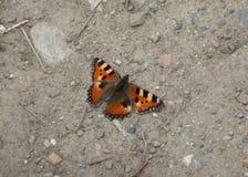 Farfalla rossa che riposa sulla terra Fotografia Stock