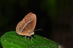 Farfalla rossa del bushbrown Fotografie Stock