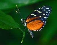 Farfalla rossa del cracker Fotografia Stock Libera da Diritti