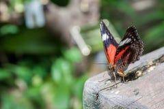 Farfalla rossa del Lacewing Fotografie Stock