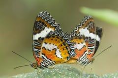 Farfalla rossa del Lacewing, biblis di Cethosia Fotografia Stock