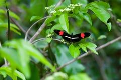 Farfalla rossa del postino immagini stock