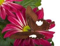 Farfalla rossa di Helen Immagini Stock