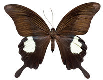 Farfalla rossa di Helen Immagine Stock Libera da Diritti
