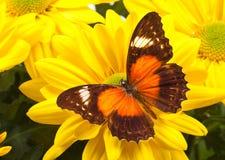 Farfalla rossa di Lacewing Fotografia Stock