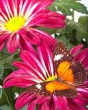 Farfalla rossa di Lacewing Immagine Stock