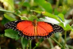 Farfalla rossa di Lacewing, biblis di Cethosia fotografie stock
