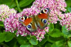 Farfalla rossa sul fiore Immagine Stock