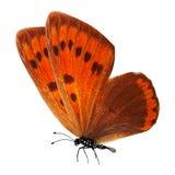 Farfalla rossa tropicale con le gambe e le antenne Isolato su priorità bassa bianca immagine stock libera da diritti