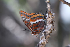 Farfalla rossa in un ramo Immagini Stock Libere da Diritti