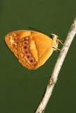 Farfalla rustica australiana Fotografia Stock
