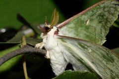 Farfalla - saturnia Artemis sui rami immagini stock libere da diritti