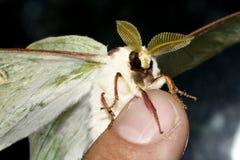 Farfalla - saturnia Artemis sulle dita fotografia stock libera da diritti