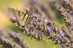 Farfalla scarsa o di podalirius di Iphiclides della farfalla di coda di rondine Immagine Stock