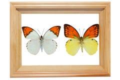 Farfalla secca nel telaio di legno (isolato su bianco). Fotografia Stock