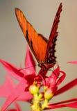 Farfalla selvaggia Immagine Stock