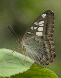 Farfalla selvaggia Immagini Stock