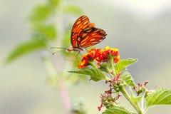 Farfalla selvaggia II Fotografia Stock