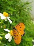 Farfalla senza nome immagini stock