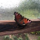 Farfalla in serra un giorno piovoso Fotografia Stock