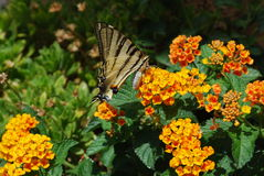 Farfalla siciliana Fotografie Stock
