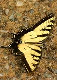 Farfalla sola Fotografia Stock Libera da Diritti