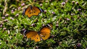 Farfalla sparata - valle di hula Immagini Stock