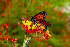 Farfalla splendida Immagine Stock
