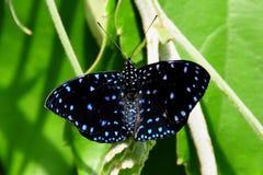 Farfalla stellata di notte immagine stock libera da diritti