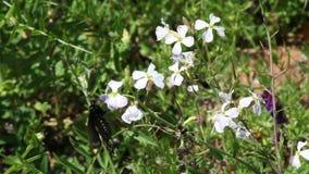 Farfalla stretta del nero del colpo sui fiori porpora del lupino stock footage