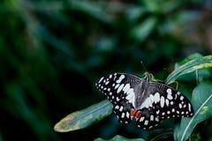 Farfalla striata di Swallowtail Fotografia Stock