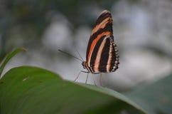 Farfalla a strisce arancio, bianca e nera Fotografia Stock