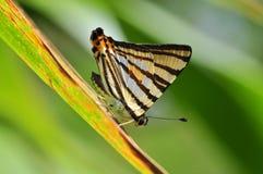 Farfalla a strisce del punzone Fotografia Stock