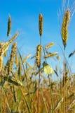 Farfalla su cereale fotografia stock