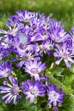 Farfalla su Cineraria del fiorista viola Immagini Stock Libere da Diritti