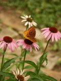 Farfalla su coneflower Fotografie Stock Libere da Diritti