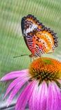 Farfalla su coneflower Fotografie Stock