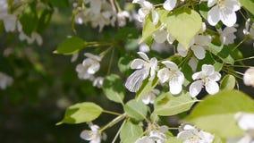 Farfalla su di melo sboccianti del fiore video d archivio