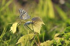 Farfalla su erba Immagini Stock