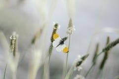 Farfalla su erba nel mio cortile Immagine Stock