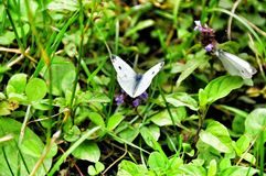 Farfalla su erba verde Fotografie Stock Libere da Diritti