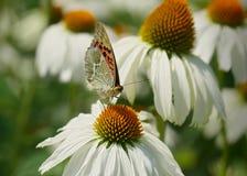Farfalla su fioritura Fotografia Stock