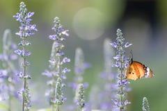Farfalla su lavanda Immagini Stock Libere da Diritti