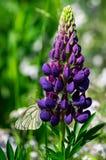 Farfalla su lupino porpora Fotografie Stock Libere da Diritti