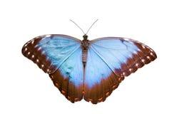 Farfalla su priorità bassa bianca Fotografie Stock