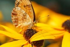 Farfalla su Rudbeckia Immagine Stock Libera da Diritti