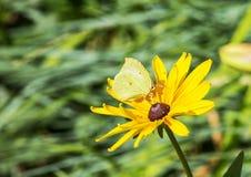 Farfalla su rudbeckia del fiore Immagini Stock Libere da Diritti