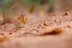 Farfalla su terra Immagini Stock